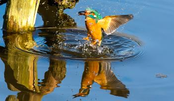 Reflections of a Kingfisher