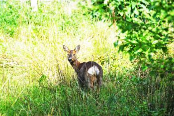 Friendly Roe Deer.