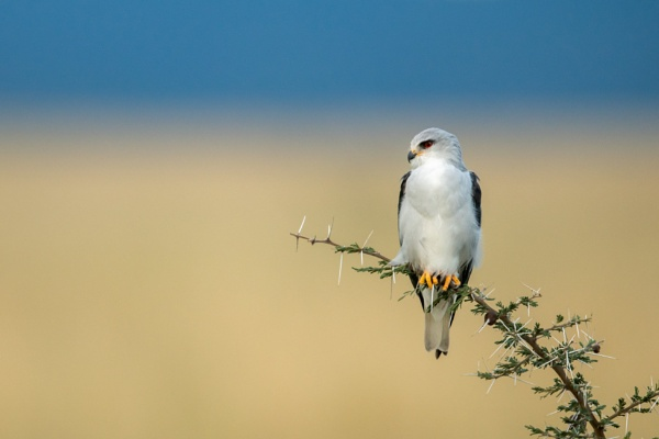 Black-shouldered kite perches on thornbush looking left by NickDale