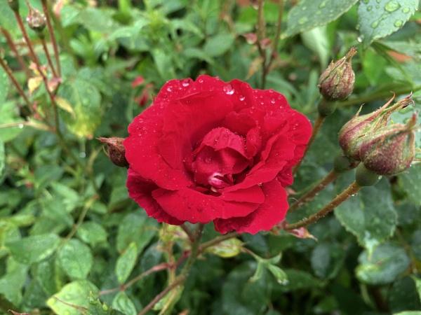 Rose by franpat