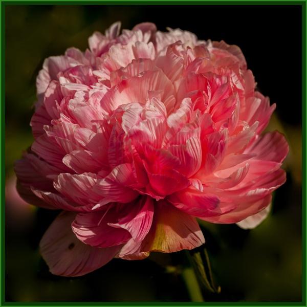 peppermint pink... by estonian