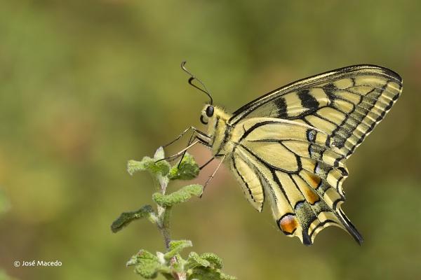 Papilio machaon by lord_macedo