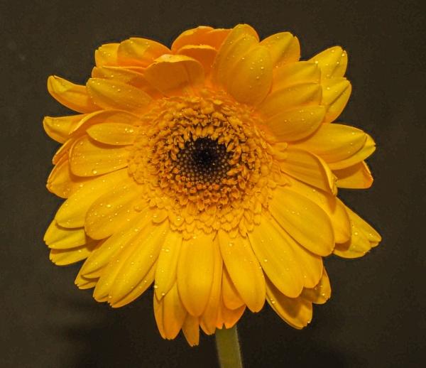 Yellow Flower by richard44