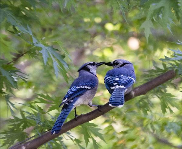 Kissin Jays by sehrbrock
