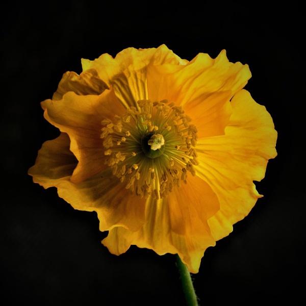 Yellow Poppy by WilliamEdward