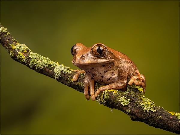 East African Peacock Tree Frog by Leedslass1