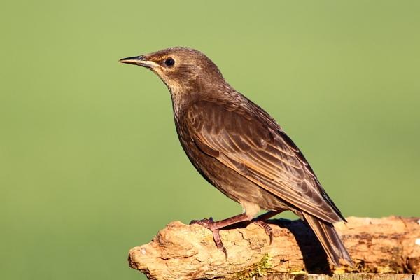 Starling by Philipwatson