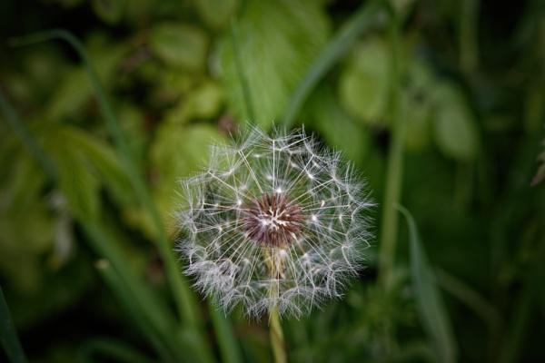 Dandelion seed Head. by simmo73