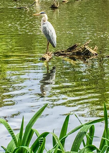A Heron. by Pinarellopete