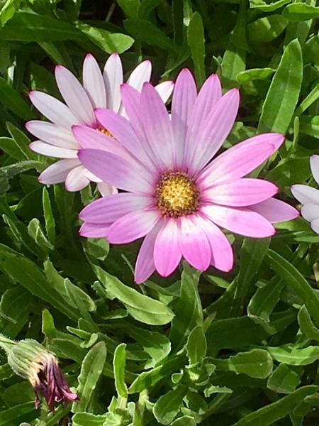 Daisy Daisy etc. by Pinarellopete