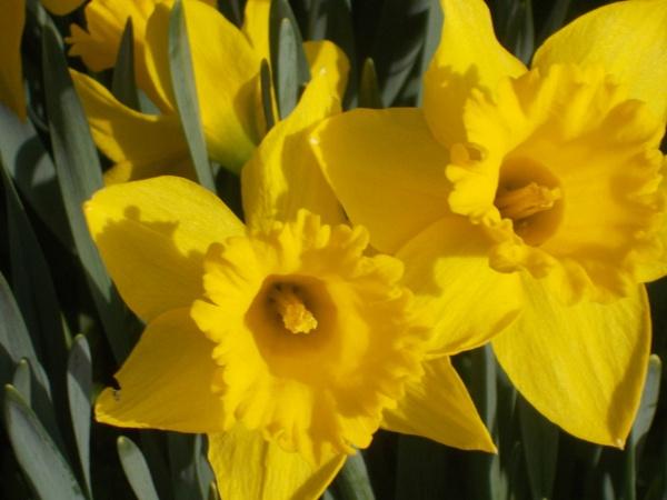 Yellow Daffidills by Bar1826