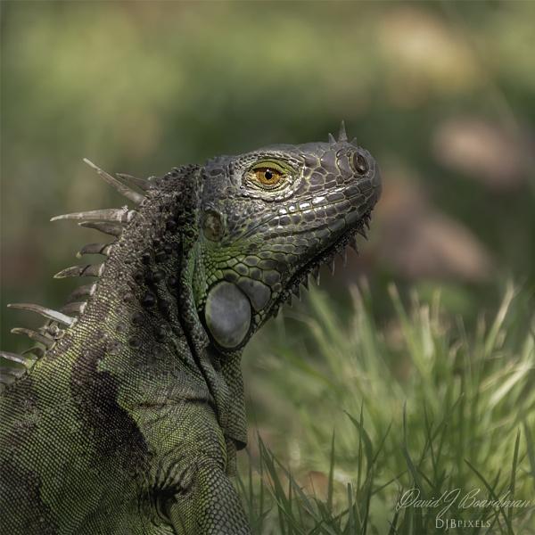 Green Iguana by DBoardman