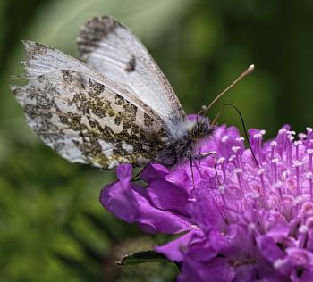 Female Orange Tip Butterfly enjoying the nectar