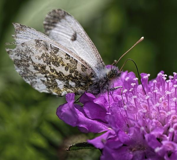Female Orange Tip Butterfly enjoying the nectar by royd63uk
