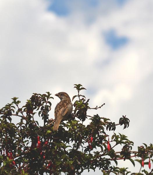 Sparrow in fushia by shaz4