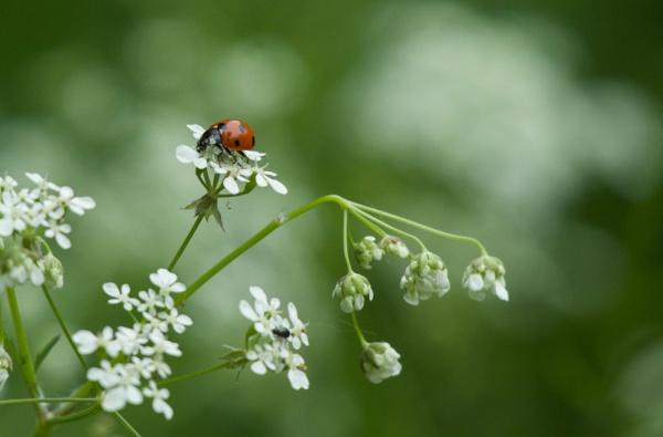Ladybird by pcollingwood