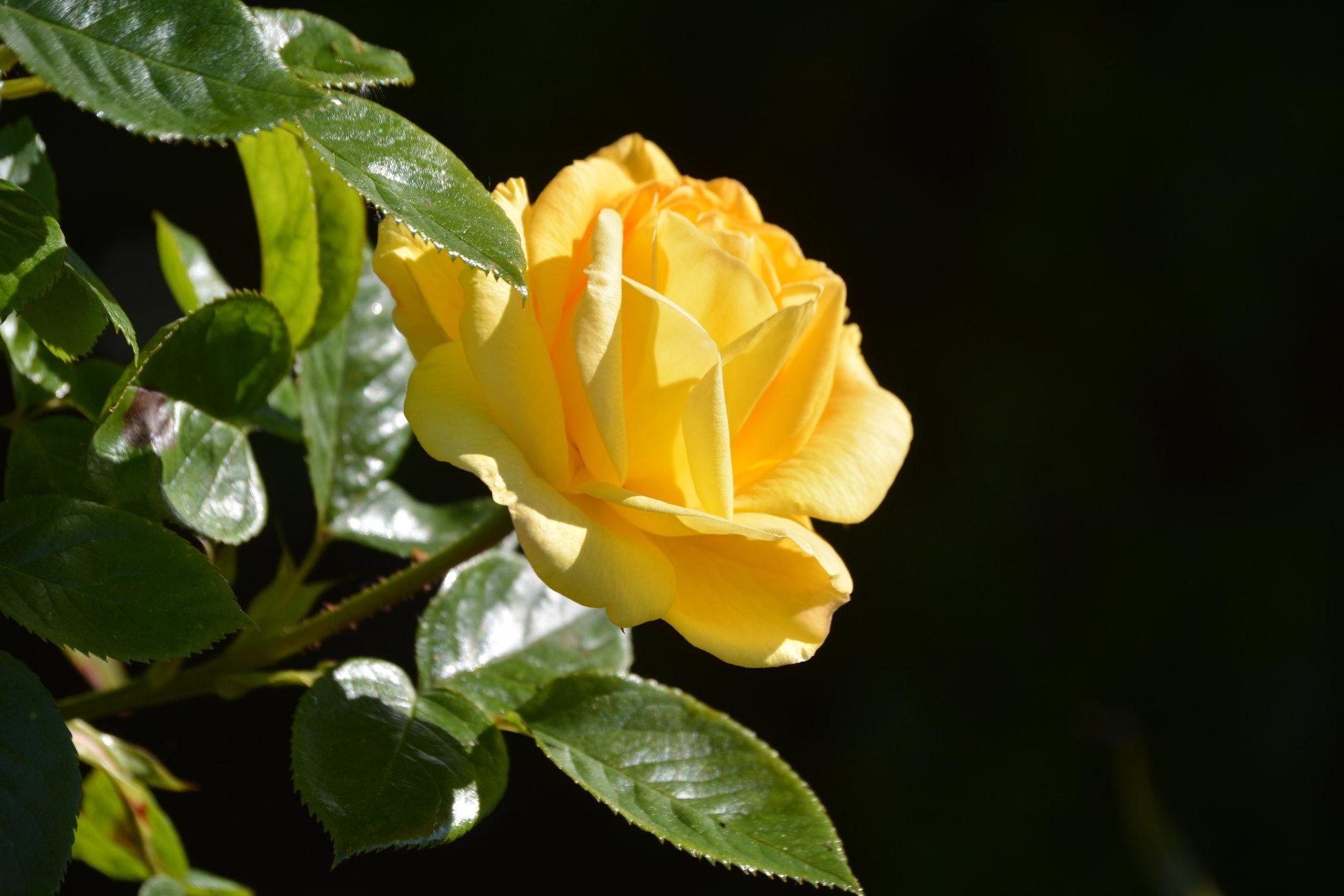 ** Yellow Rose **