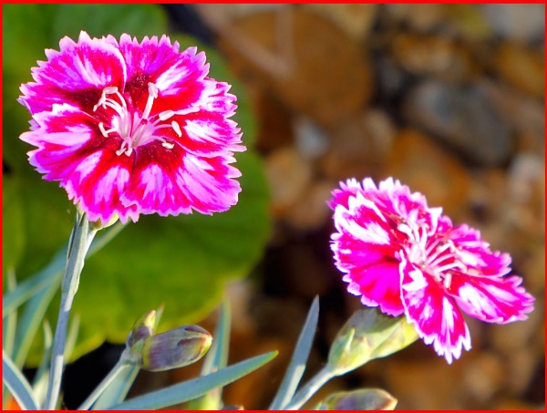 ** DIANTHUS ** by Rock