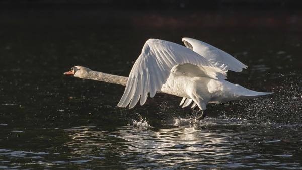 Swan Taking Off by chensuriashi