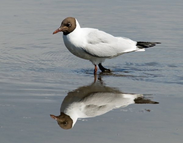 Black-headed gull by oldgreyheron