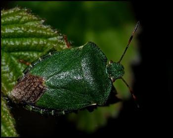 Green Shield Bug ....
