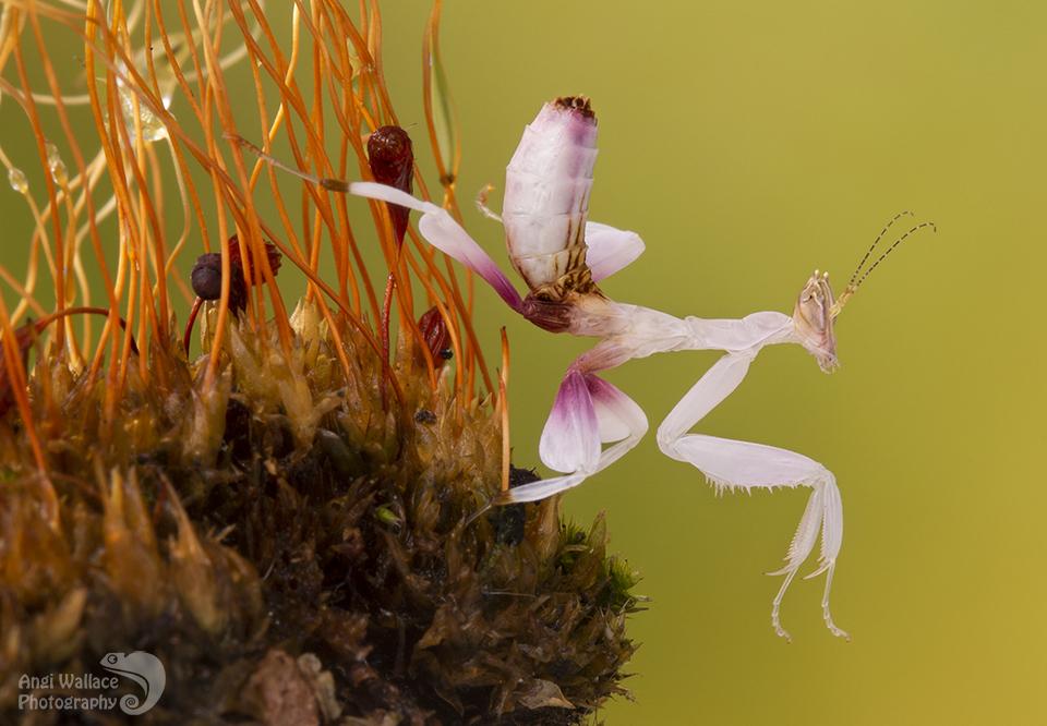 Orchid mantis nymph
