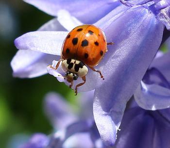 Ladybird on bluebell