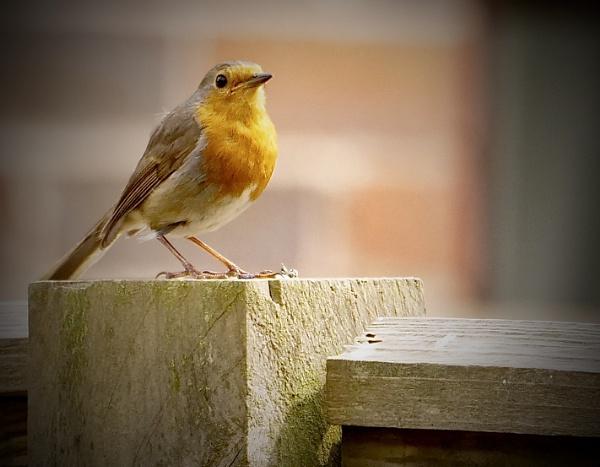 Robin by sparrowhawk