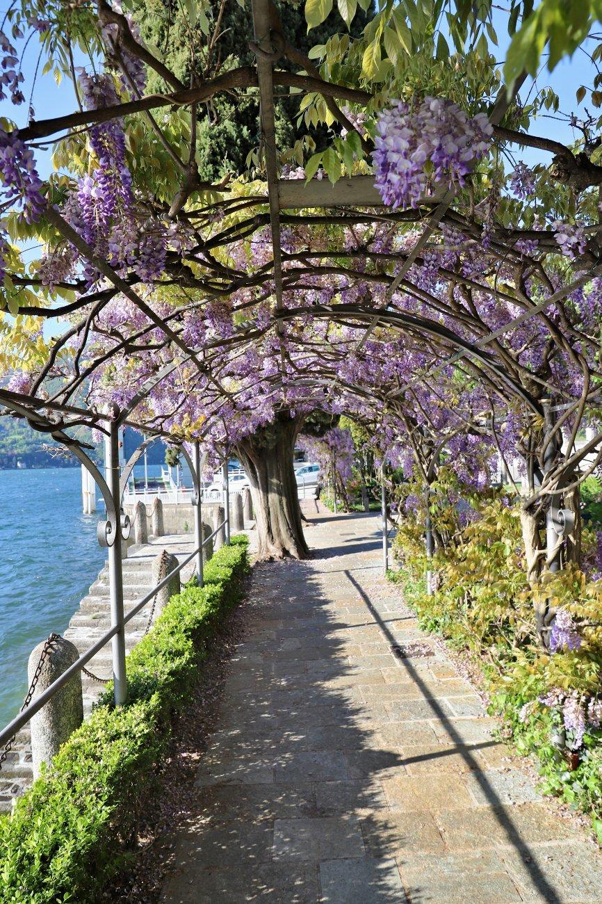 WISTERIA BESIDE LAKE COMO ITALY
