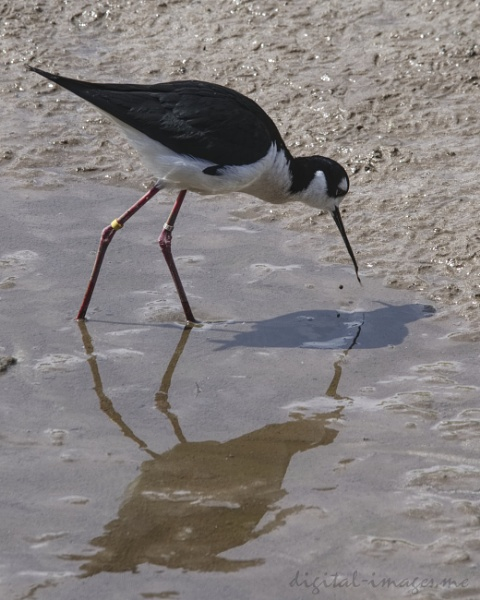 Black-necked Stilt by Alan_Baseley