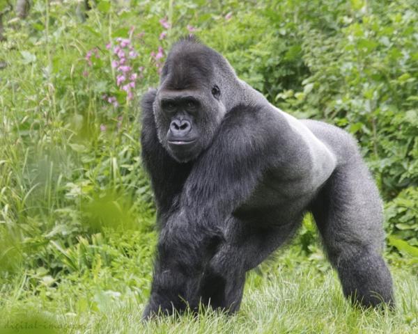 Western Lowland Gorilla by Alan_Baseley