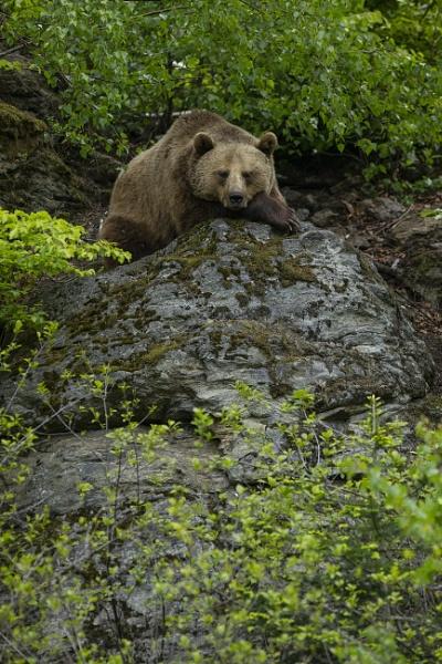 Mama bear by philhomer