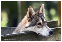 Wolf Knysna Wolf Rescue