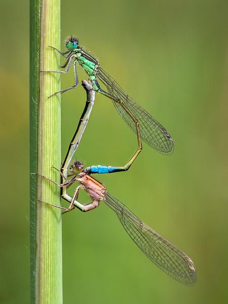 Damselflies in Mating Wheel by BydoR9
