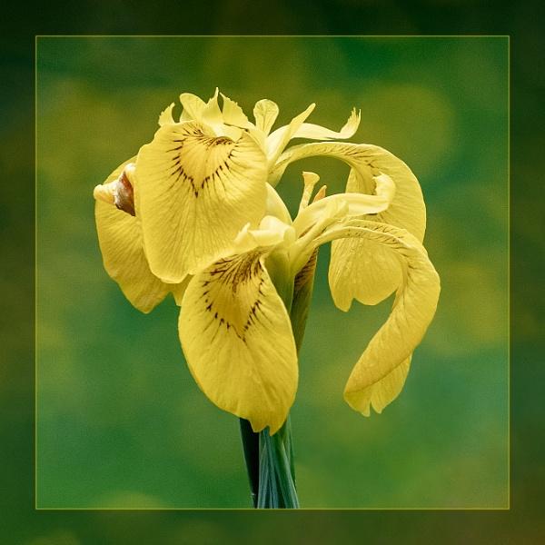Yellow Irises by DicksPics