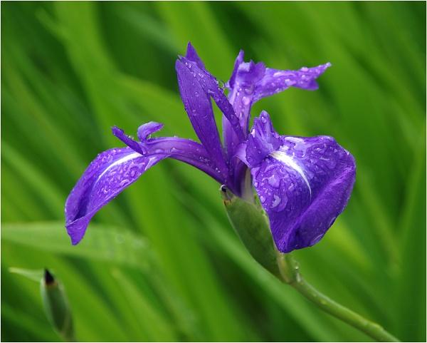 Iris by johnriley1uk