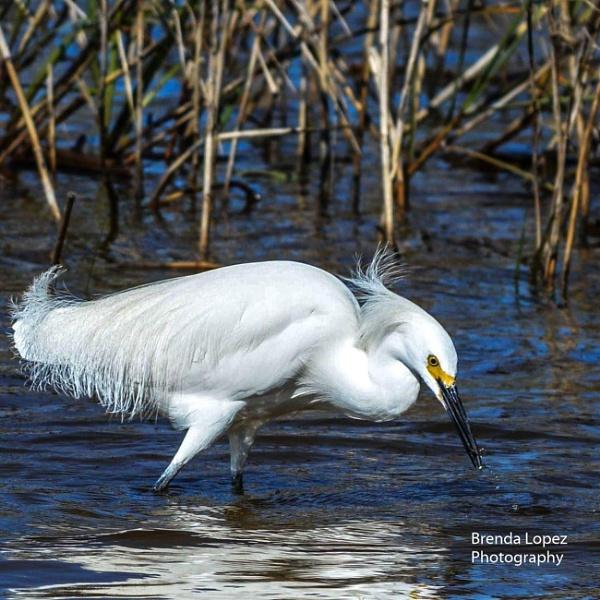 Snowy Egret by Dinky65