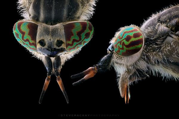 Horsefly by SteveMackay