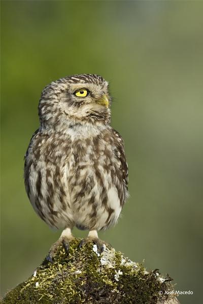 Little owl (Athene noctua) by lord_macedo
