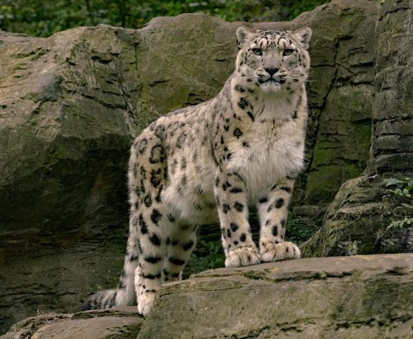 Snow Leopard by Stuarty