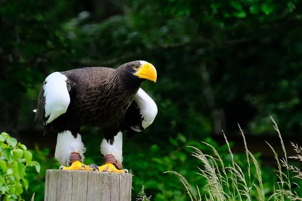 Eagle ready ! by jeakmalt