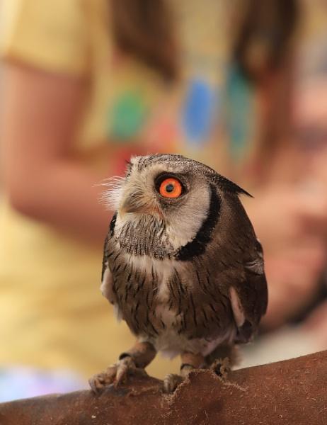 owlet by felixdcat