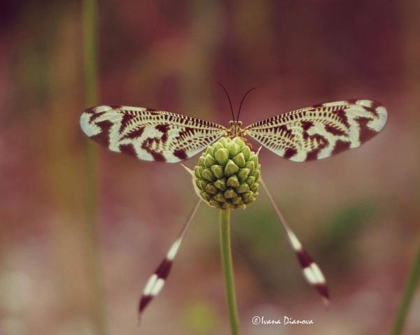 Nemoptera coa by idiabb
