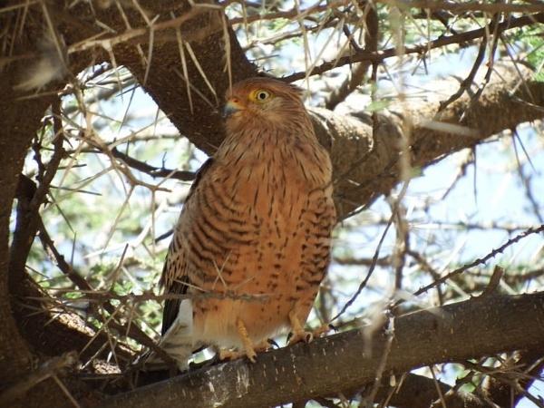 Hawk,not identified by Nigeltraveller