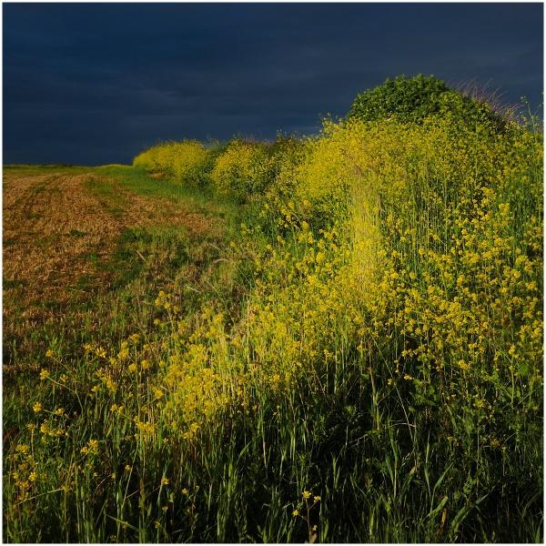 Yellow hedge