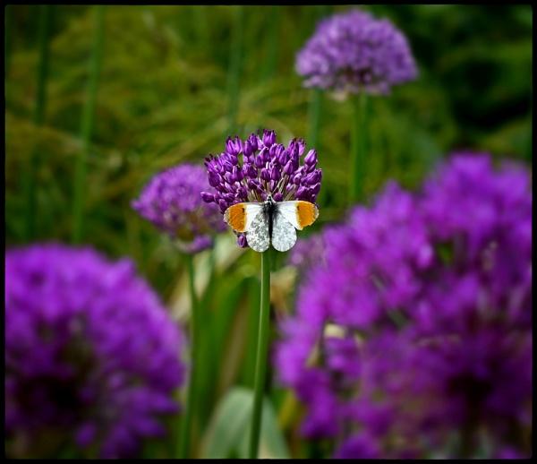 Orangetip Butterfly Resting. by ThePixelator