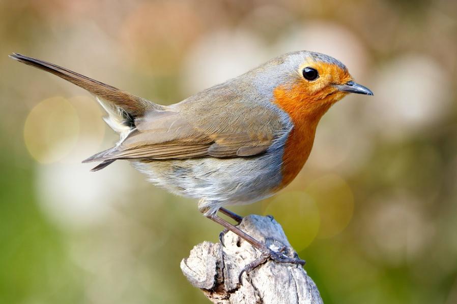 """""""Bank Holiday Robin""""."""
