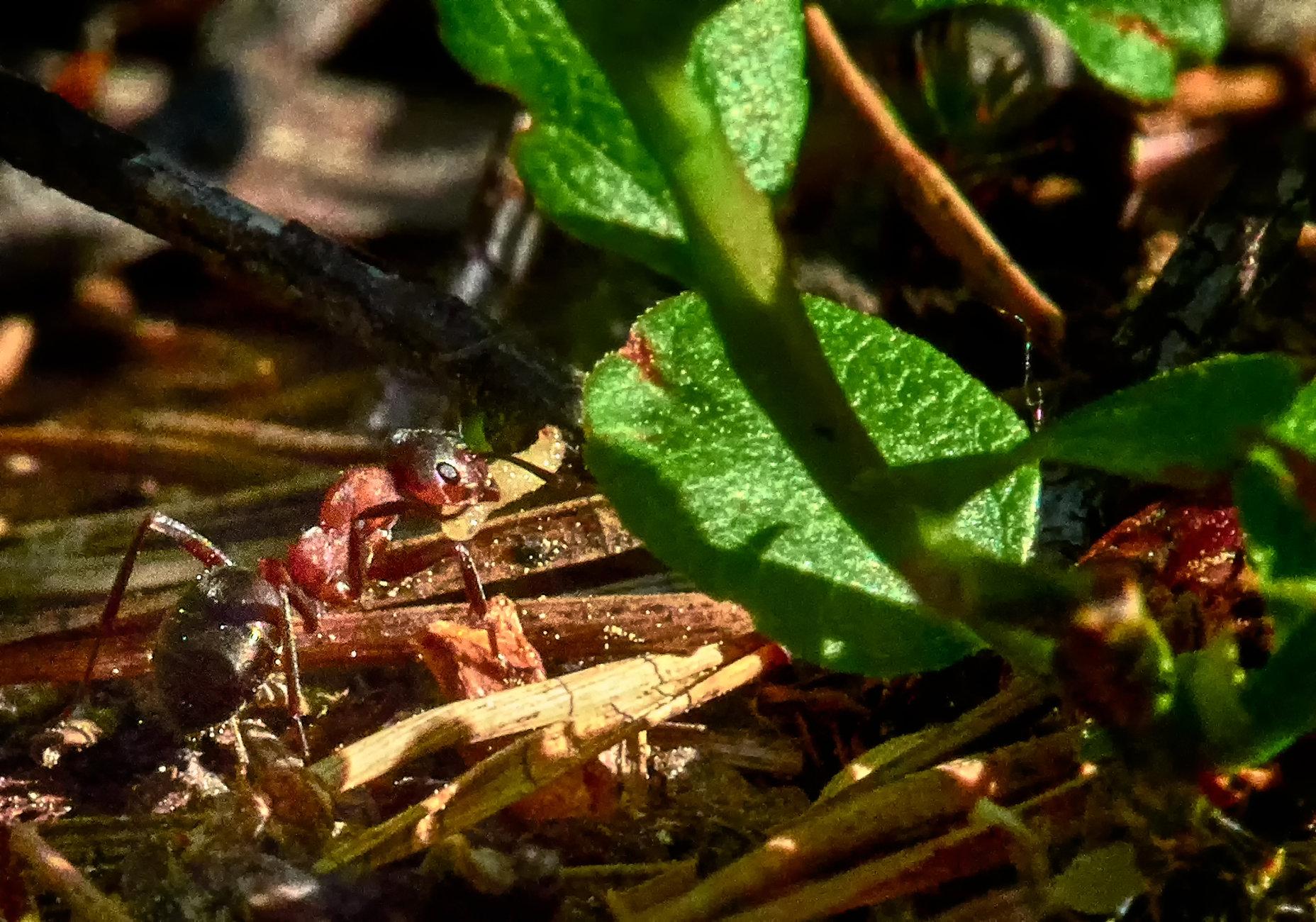 Ant in Espoo