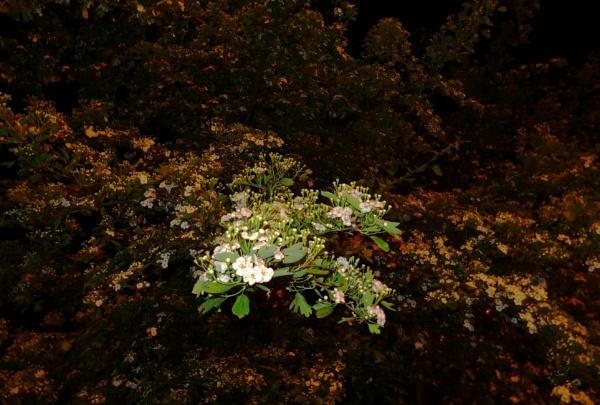 Plenty of blooms by SauliusR