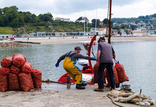 Unloading Whelks, Lyme Regis Harbour by starckimages
